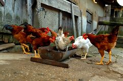 Het voeden van kippen Stock Fotografie