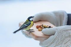 Het voeden van kleine tomtit in de winter, vogelzorg royalty-vrije stock afbeeldingen