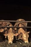 Het Voeden van koeien Royalty-vrije Stock Fotografie