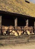 Het Voeden van koeien Royalty-vrije Stock Afbeeldingen