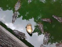Het voeden van krokodillen Stock Afbeeldingen