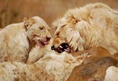 Het Voeden van leeuwen royalty-vrije stock afbeelding