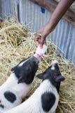 Het voeden van melk aan babyvarken royalty-vrije stock afbeeldingen