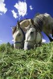 Het Voeden van paarden Stock Foto