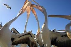 Het voeden van pelikanen Stock Foto