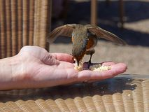 Het voeden van Robin op hand stock afbeeldingen
