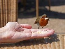 Het voeden van Robin op hand Stock Foto's