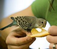 Het voeden van sinaasappel aan een baby budgie Stock Afbeeldingen
