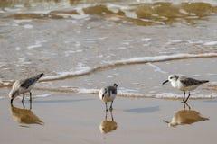 Het voeden van strandloperssanderlings op het strand van Californië stock afbeelding