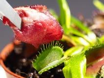 Het voeden van Venusflytrap met ruw rundvleesvlees Stock Foto's