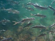 Het Voeden van vissen Waanzin Stock Afbeelding