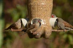 Het Voeden van vogels Royalty-vrije Stock Afbeeldingen