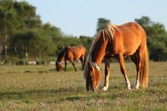 Het voeden van wild paarden Stock Fotografie