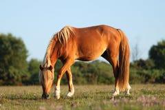 Het voeden van wild paarden Stock Foto's