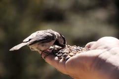 Het voeden van wilde vogel door hand stock foto's