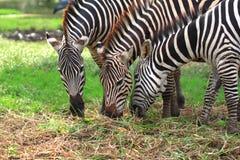Het voeden van Zebras op gras stock afbeelding