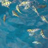 Het voeden vissenvierkant Stock Fotografie