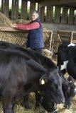Het Voedende Vee van de landbouwer in Schuur Royalty-vrije Stock Foto's
