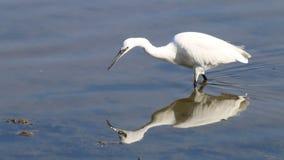 Het voederen van weinig Aigrette in de Reserve van Le Teich Bird, Frankrijk stock videobeelden