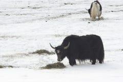 Het voedsel van de winter voor muskox Stock Foto's