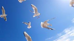 Het voedsel van de zeemeeuwenvangst tegen de hemel van een langzame motie stock videobeelden
