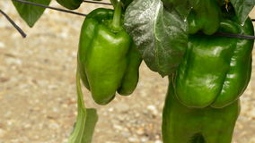 Het voedsel van het peper het groene fruit hangen bij tak van installaties in serre stock videobeelden