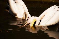Het voedselstrijd van de pelikaan Stock Foto