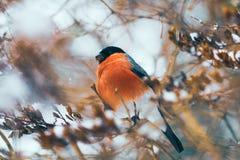 Het voer van de goudvinkvogel op zaden van een Bosjesman in de winter royalty-vrije stock afbeelding
