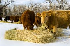 Het voer van koeien op hooi tijdens de winter Stock Fotografie
