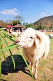 Het voer van schapen Stock Afbeeldingen