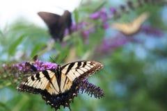 Het voer van tijger swallowtail vlinders op violetkleurige bloei royalty-vrije stock foto