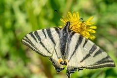 Het voer van vlindervlinders op gele bloem Protographium marcellus stock fotografie