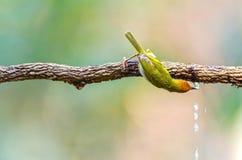Het vogel genoemde Gemeenschappelijke drinkwater van Tailorbird royalty-vrije stock foto's