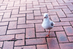 Het vogel Schoppen Champ Royalty-vrije Stock Afbeelding