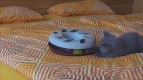 Het volbloed- Britse katje spelen met een stuk speelgoed op het bed stock videobeelden