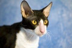 Het volbloed- kat letten op met rente. Stock Foto's