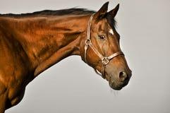 Het volbloed- paard van de baai Stock Foto