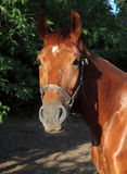 Het volbloed- portret van het raspaard Royalty-vrije Stock Afbeeldingen