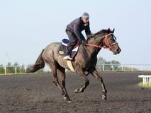 Het volbloed- renpaard van jockeytreinen in de ochtend Royalty-vrije Stock Foto
