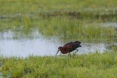 Het volwassen Glanzende Ibis Voederen stock foto's