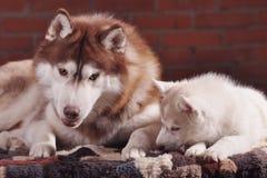 Het volwassen hogere hond en puppy schor binnen gestemd communiceren royalty-vrije stock fotografie