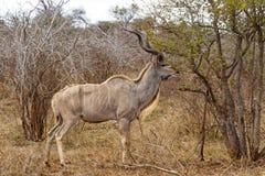 Het volwassen Kudu-Voeden stock foto