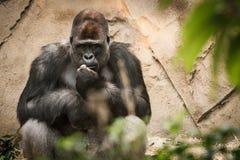 Het volwassen mannelijke gorilla zitting en letten op Stock Fotografie