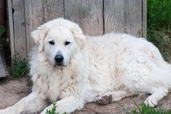 Het volwassen mannelijke Hongaarse Kuvasz-herdershond rusten stock foto's