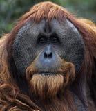 Het volwassen Mannelijke Portret van de Orangoetan Stock Foto