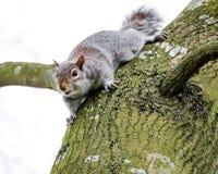 Het volwassen vrouwelijke Grey Squirrel gezien letten op, gezien dichtbij zijn drey op een grote boom stock foto