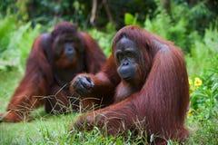 Het volwassen wijfje van de orangoetan. Royalty-vrije Stock Afbeelding