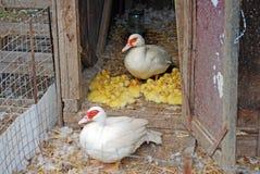 Het volwassen wit van vogelindoda op een landbouwbedrijf met een kroost De kleine gele kippen zitten in een stapel naast mamma stock fotografie