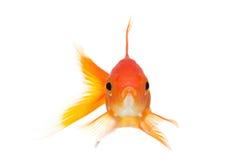 Het vooraanzicht van de goudvis dat op wit wordt geïsoleerdr Stock Afbeeldingen