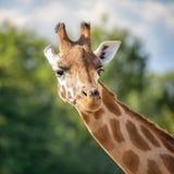 Het vooraanzicht van het girafportret stock foto's